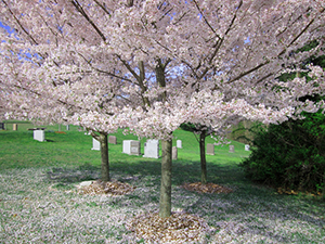 Cherry Blossoms at the Garden of Remembrance